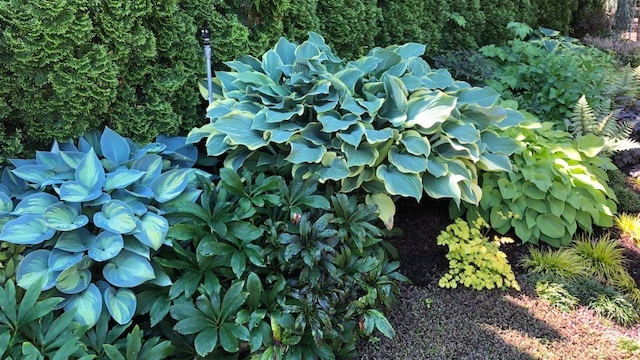 Steve's hostas in his shade garden.jpg