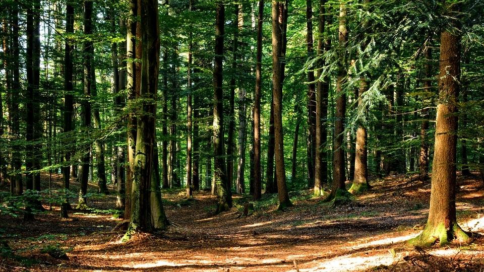 forest-972792_960_720.jpg