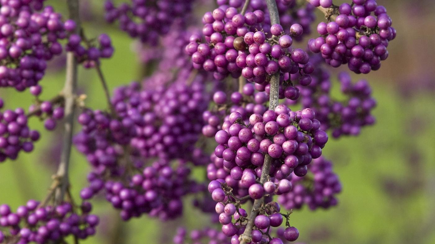 beautyberry.jpg