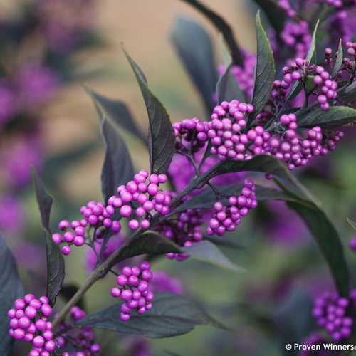 pearl_glam_callicarpa_beauty_berry_purple.jpg