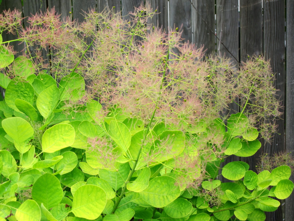 golden spirit smoke bush.jpg