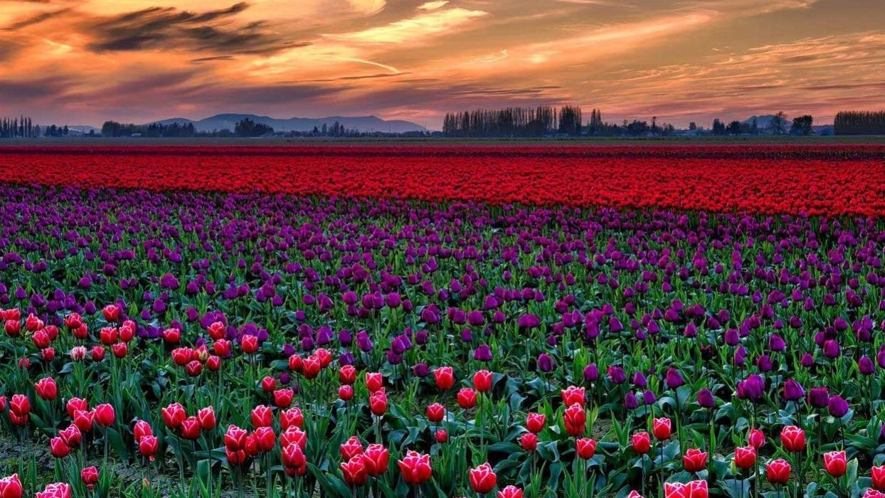 Skagit tulip festival.jpg