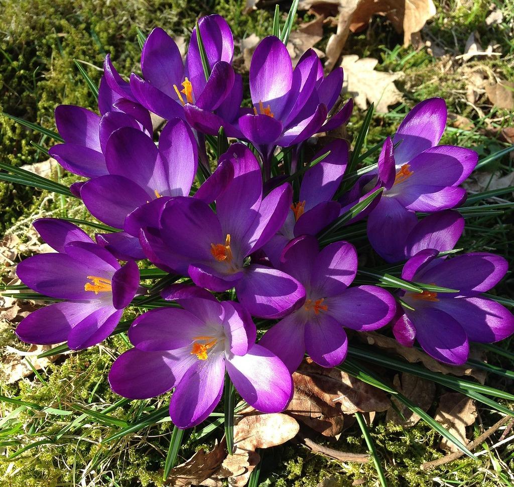crocus-spring-flowers-flowers-864744-1024.jpg