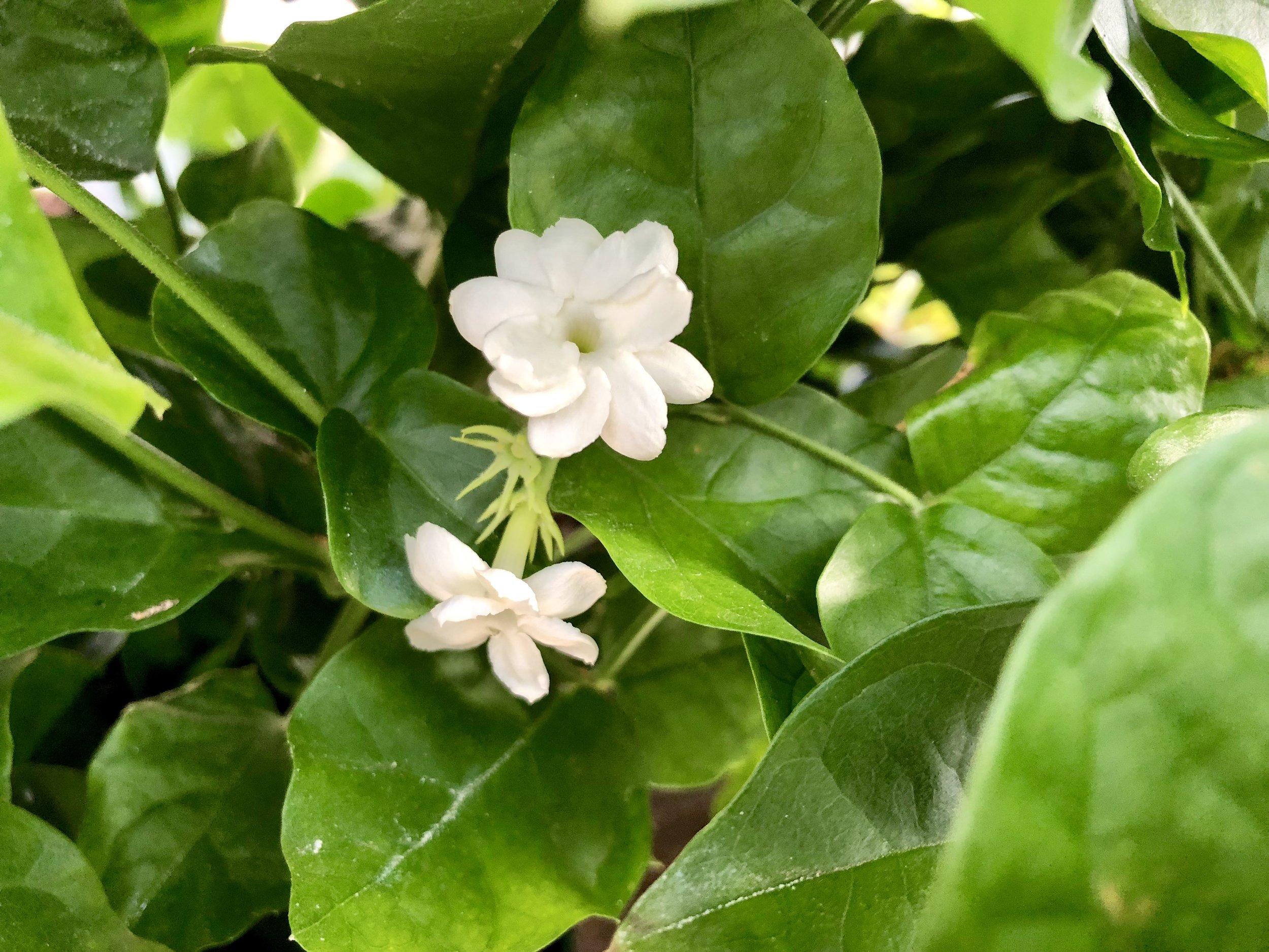 Sambac Jasmine.JPG