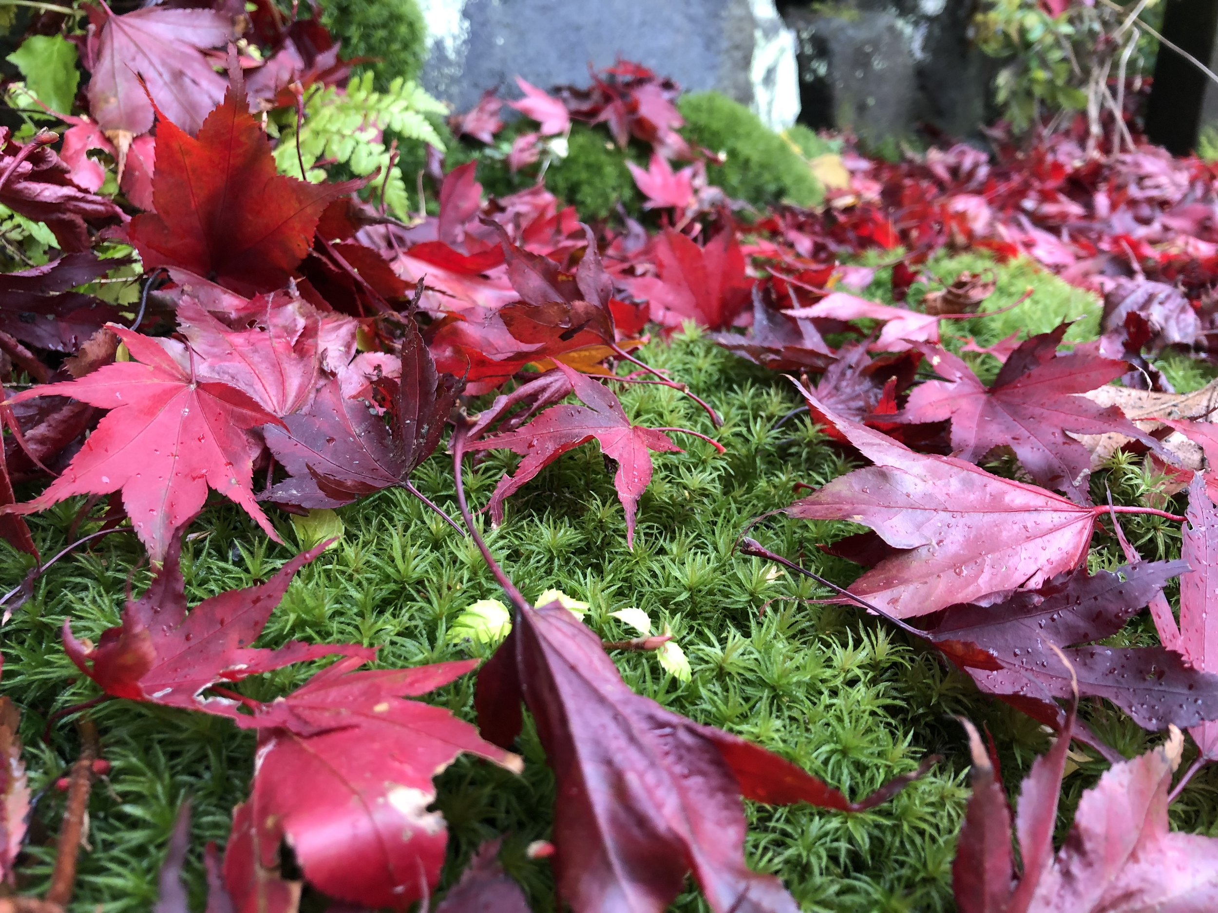 Red leaves on moss.JPG