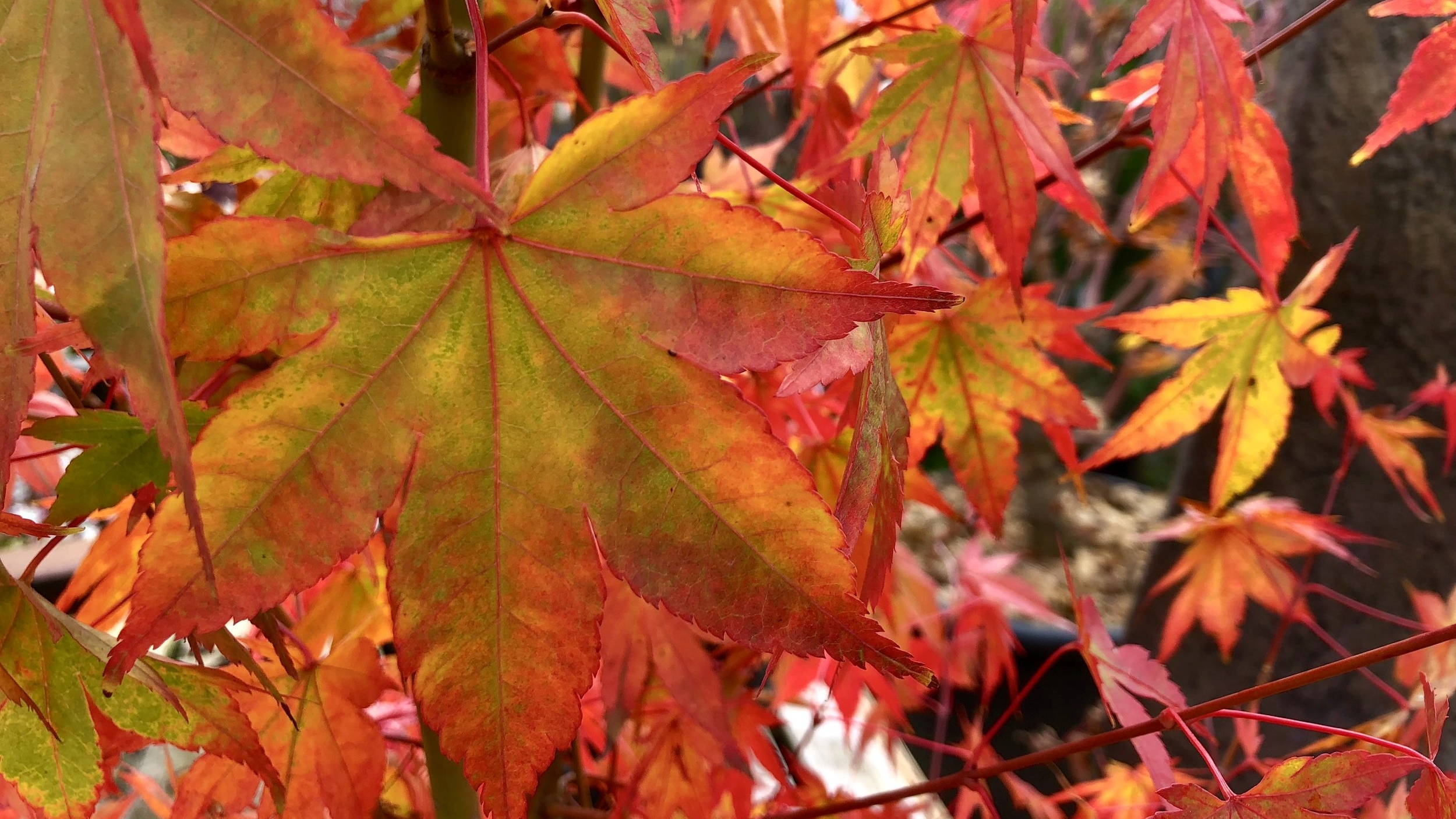 Japanese maple in fall.JPG