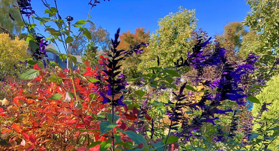 Salvia from Steve's yard2.jpg