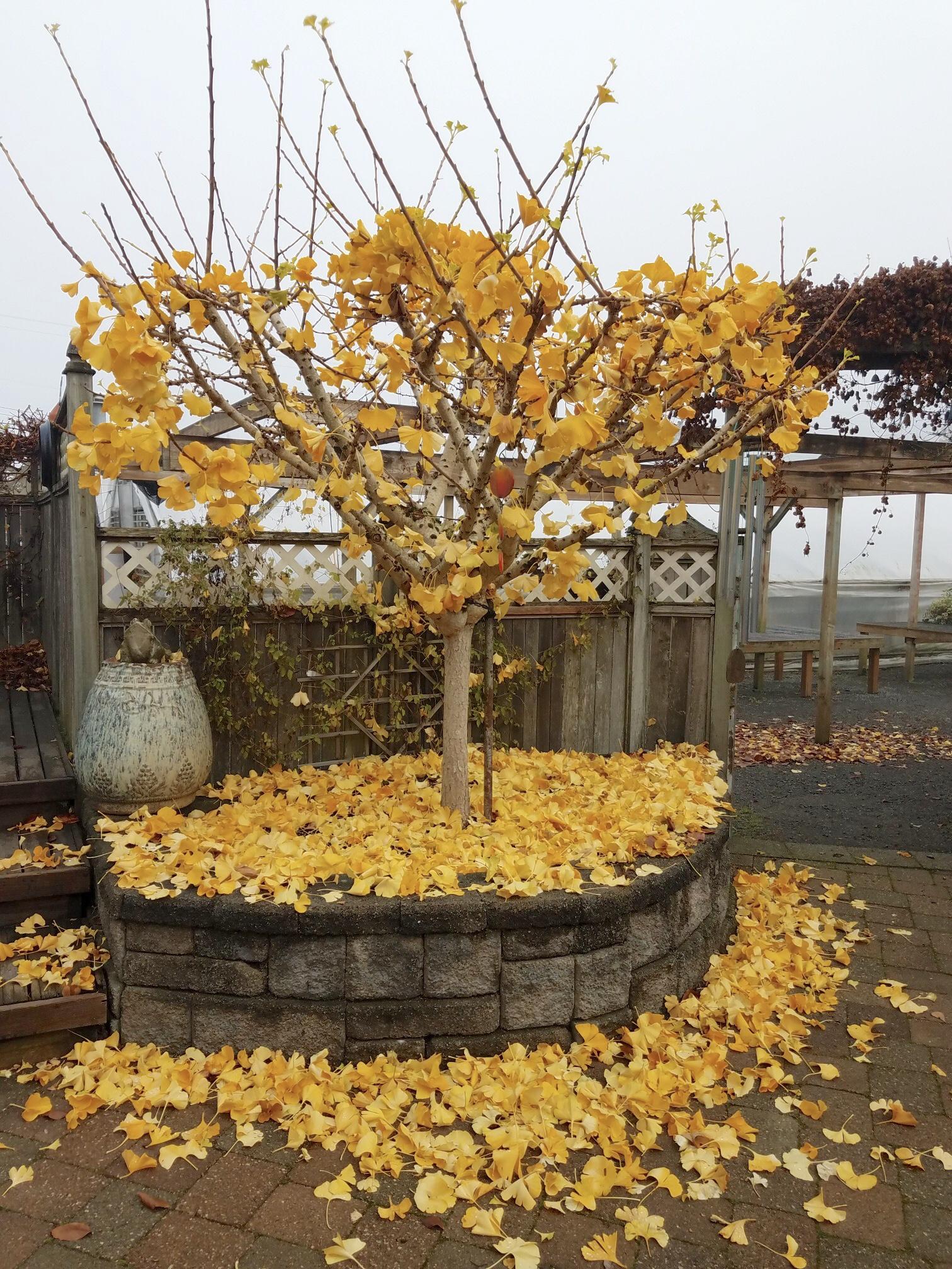 Ginko loosing leaves.jpg
