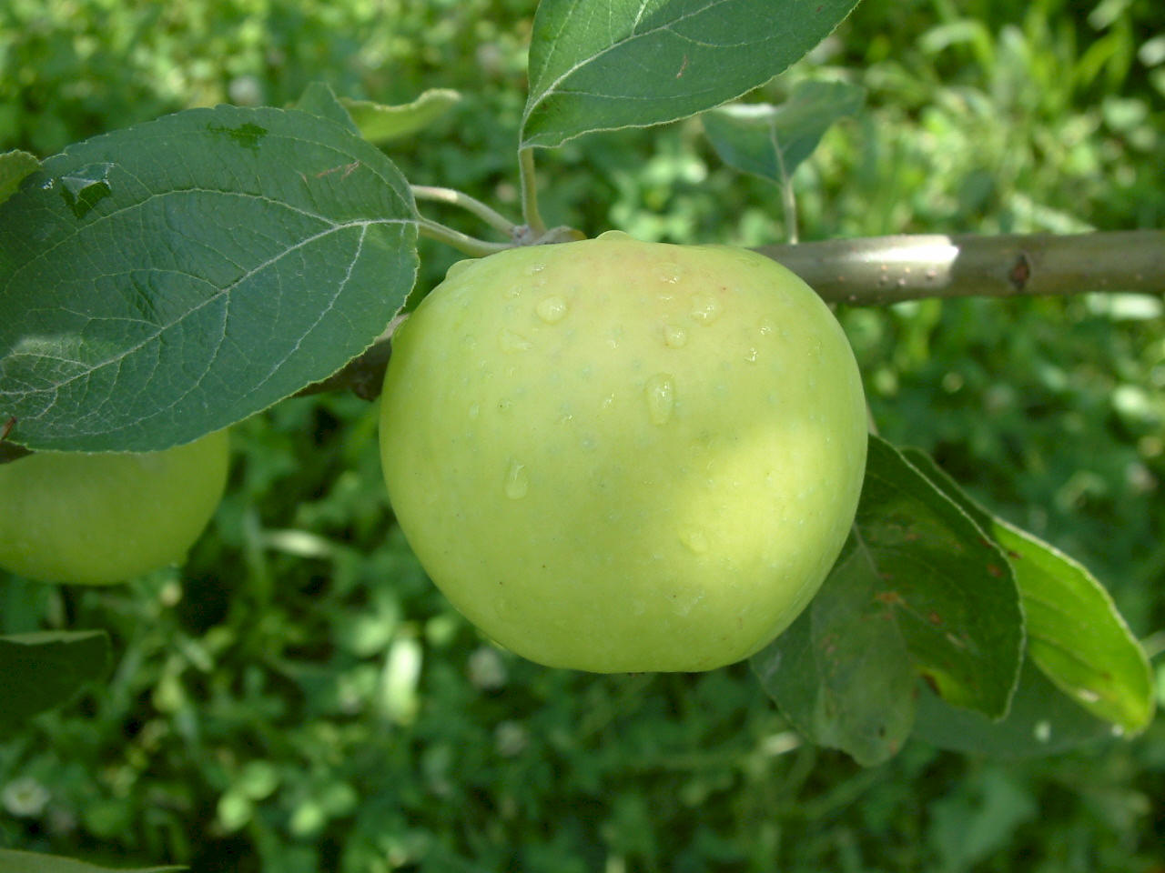 Yellow Transparent Apple.jpg