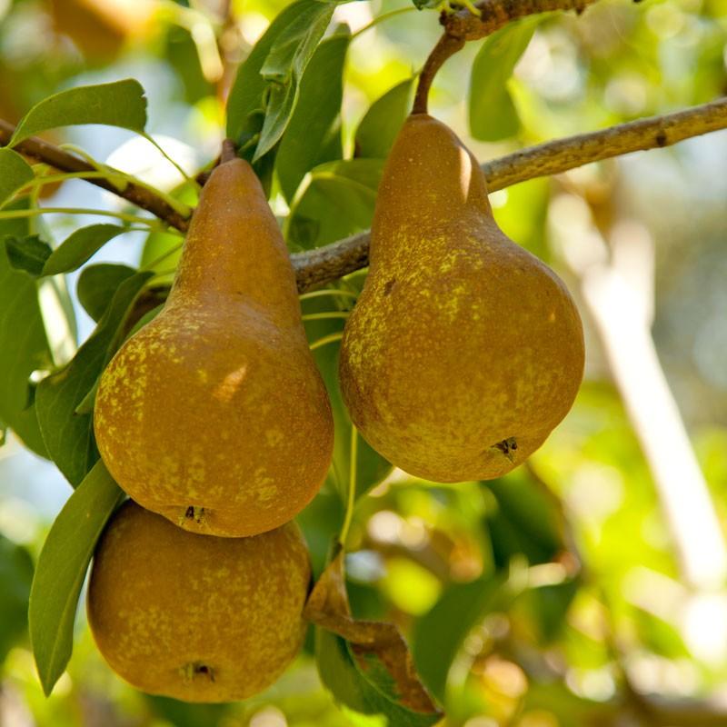 bosc pear.jpg
