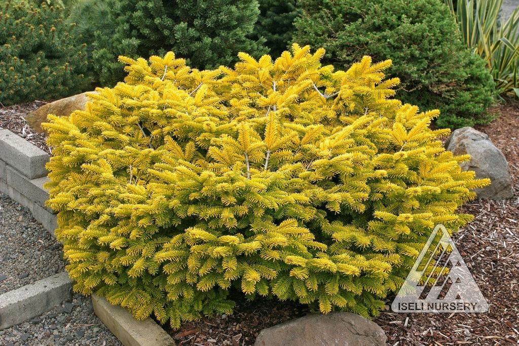 Abies golden spreader.jpg