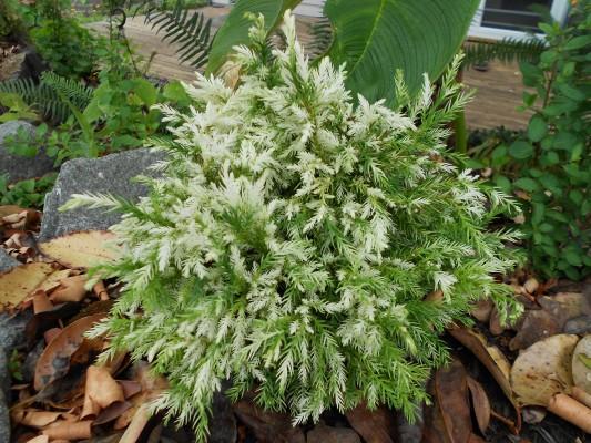 Cryptomeria japonica knaptonensis.jpg
