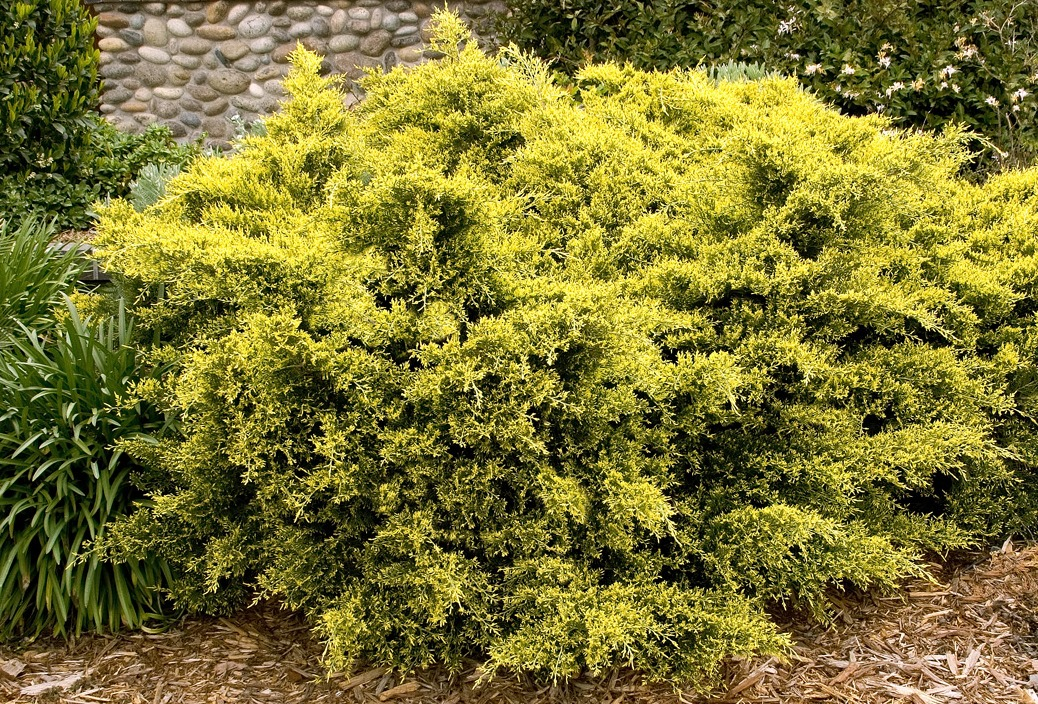 juniperus all gold.jpg