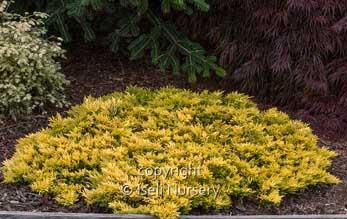 Juniperus Gold Strike.jpg