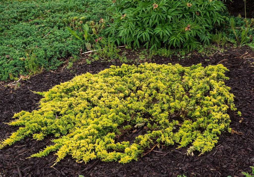 juniperus mother lode.jpg
