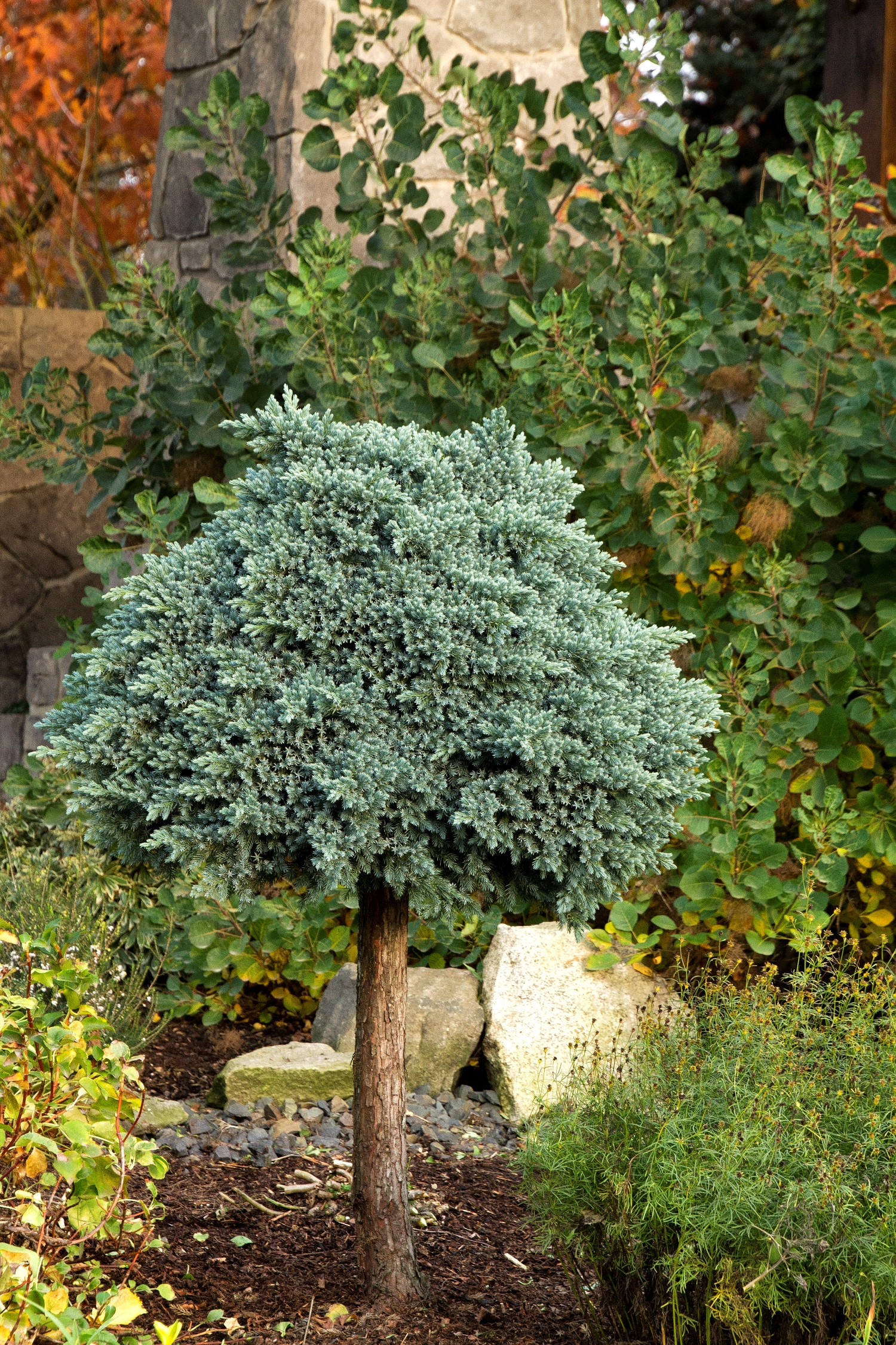 juniperus blue star.jpg