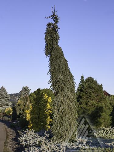 Picea abies Pendula.jpg