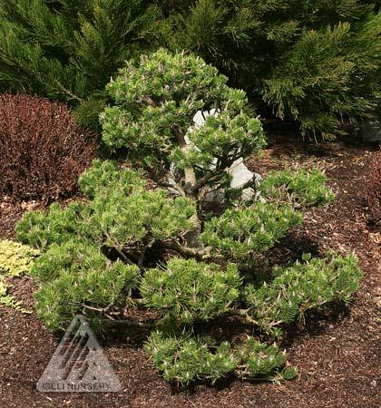 Pinus Spaans Dwarf.jpg
