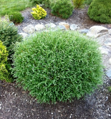 thuja mr bowling ball.jpg