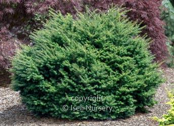 Tsuga-diversifolia-Loowit.jpg