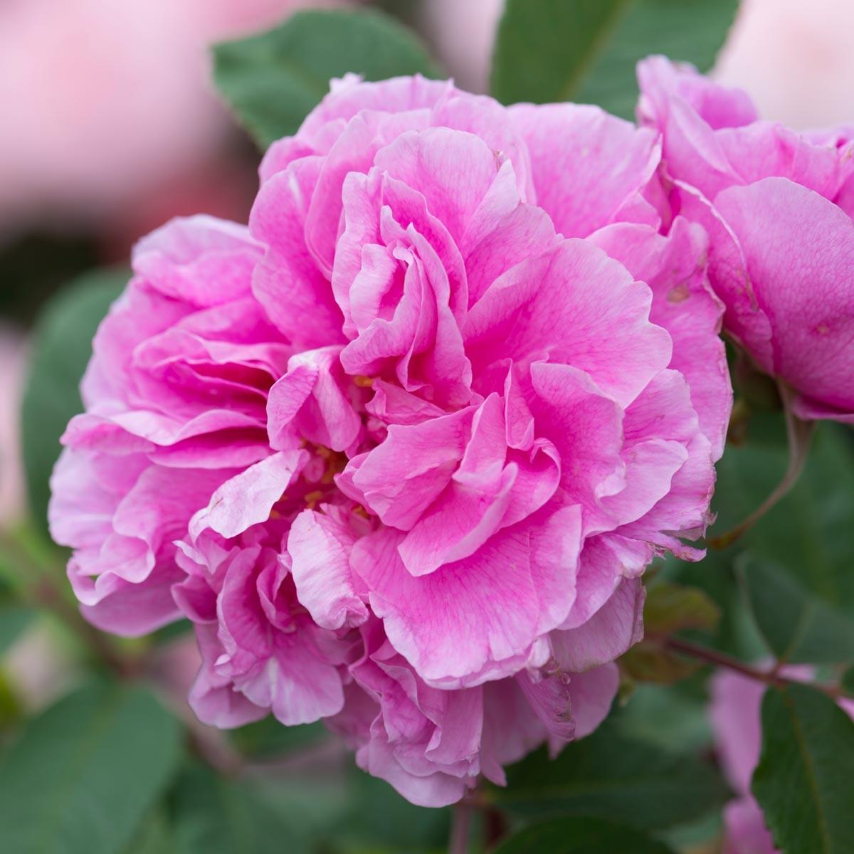 therese_bugnet rose.jpg