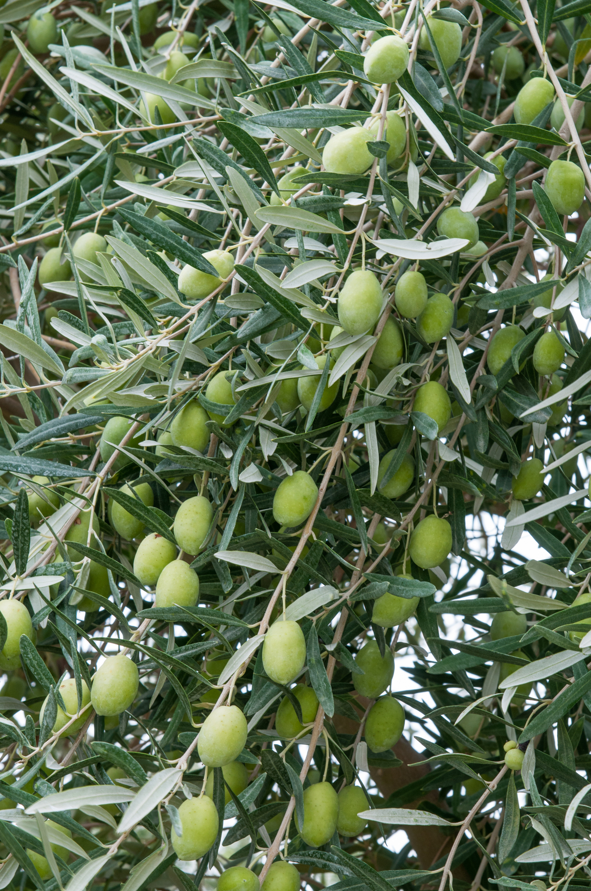 manzanillo olive.jpg
