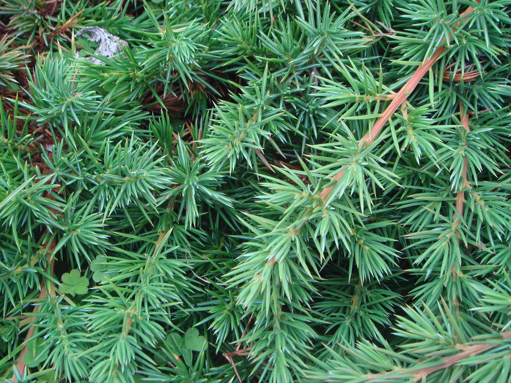 Juniperus_conferta.jpg