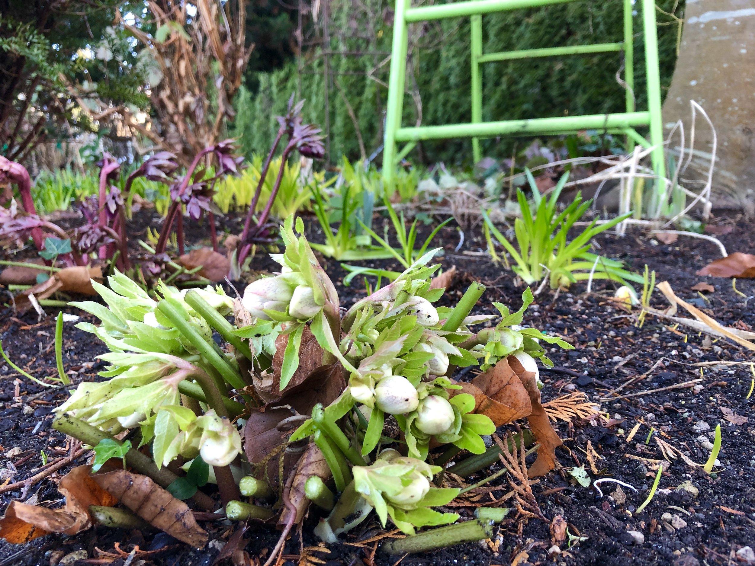Hellebores blooming.JPG