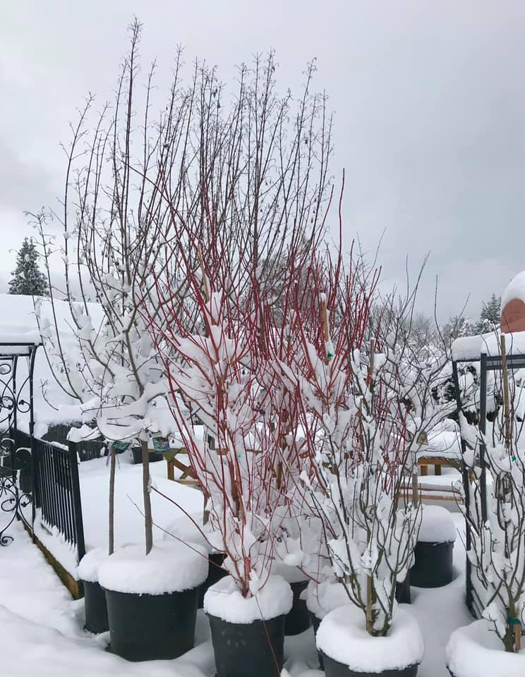 nursery trees with snow.jpg