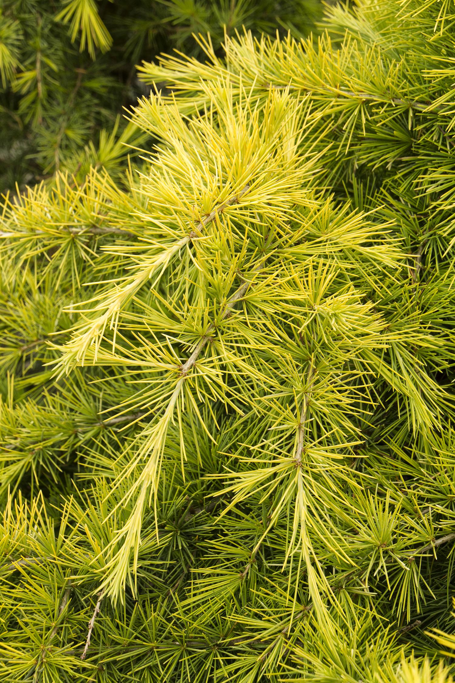 Cedar feelin sunny.jpg