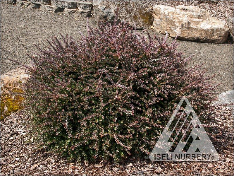 Podocarpus red tip.jpg