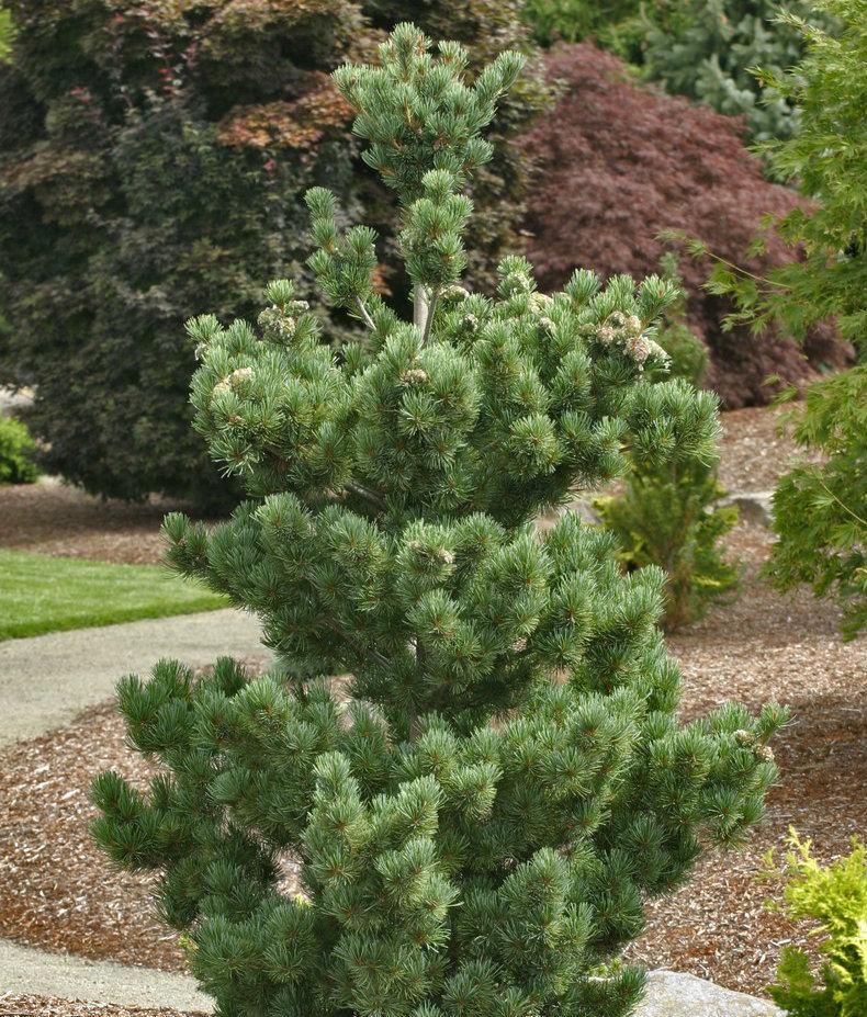 Pinus Aoi.jpg
