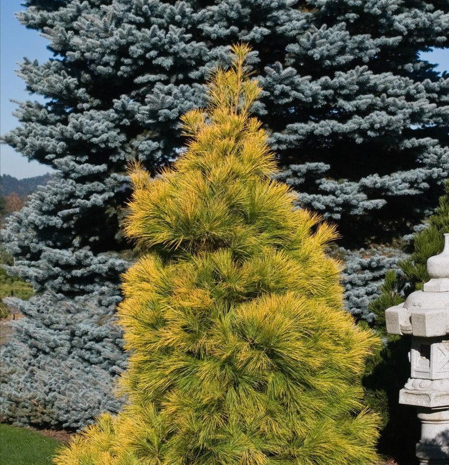 Pinus louie.jpg