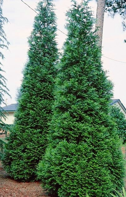 thuja+green+giant.jpg
