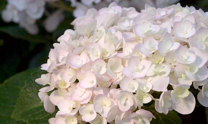 blushing-bride-hydrangea.jpg
