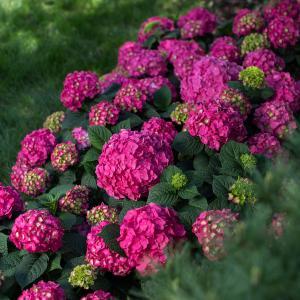 summer crush hydrangea.jpg