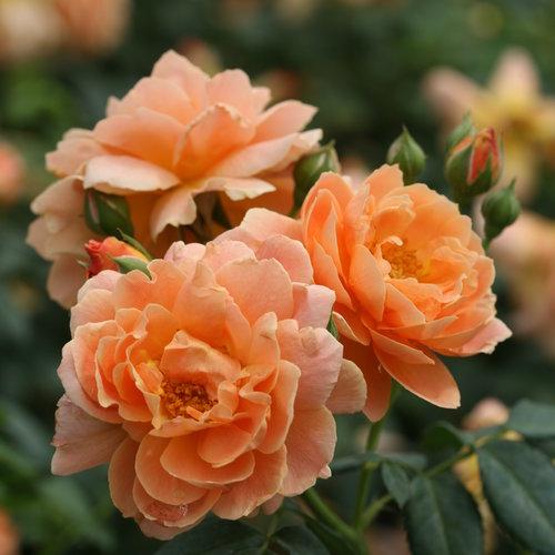 Rose At Last.jpg