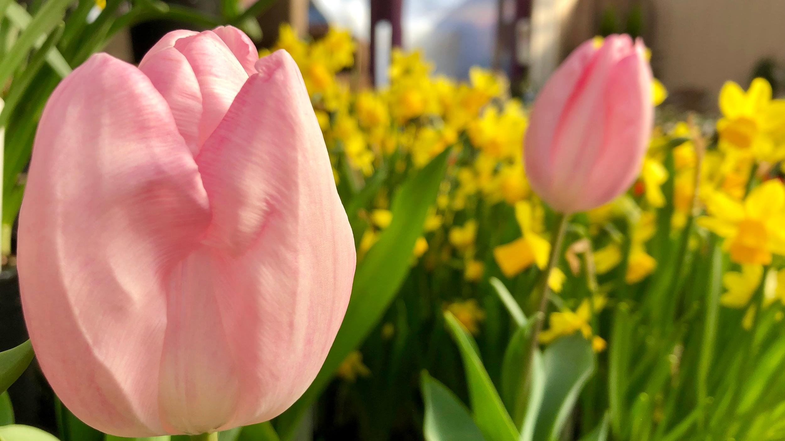 tulips+%26+daffodils.jpg