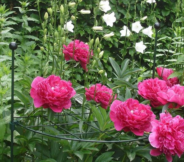 round-grow-thru-red-peony.jpg