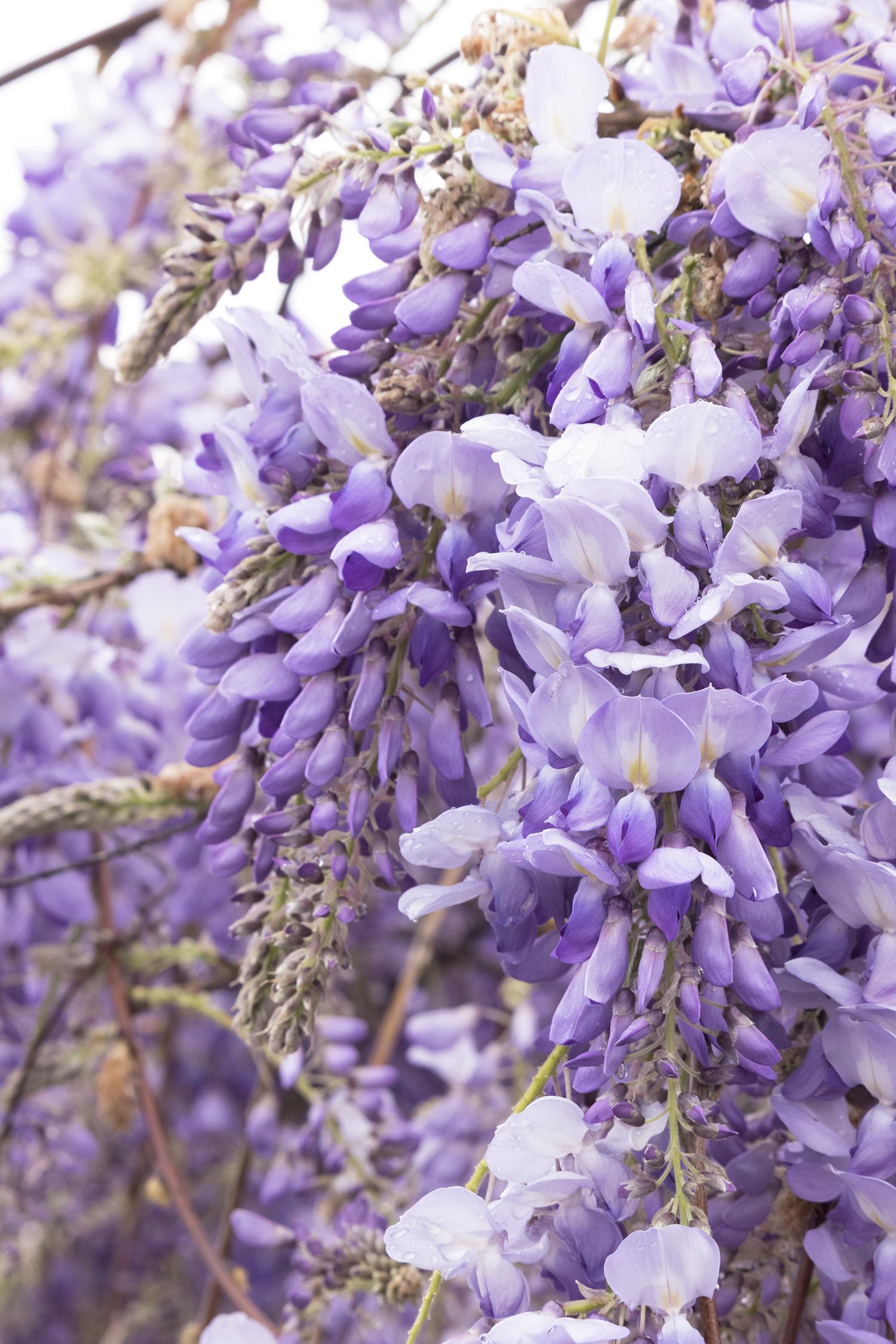 wisteria4 - Monrovia.jpg