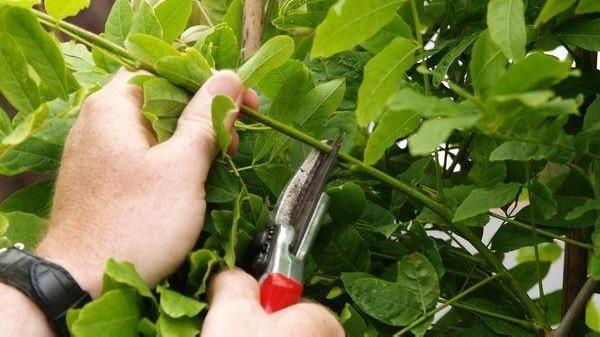 Pruning Wisteria.jpg