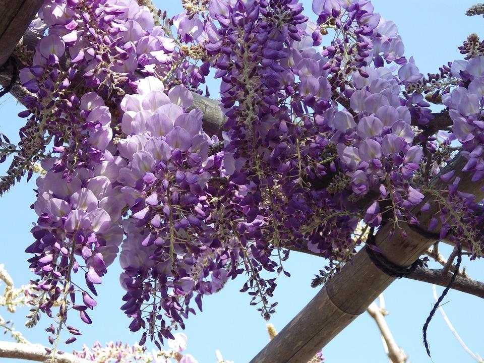 wisteria on arbor.jpg