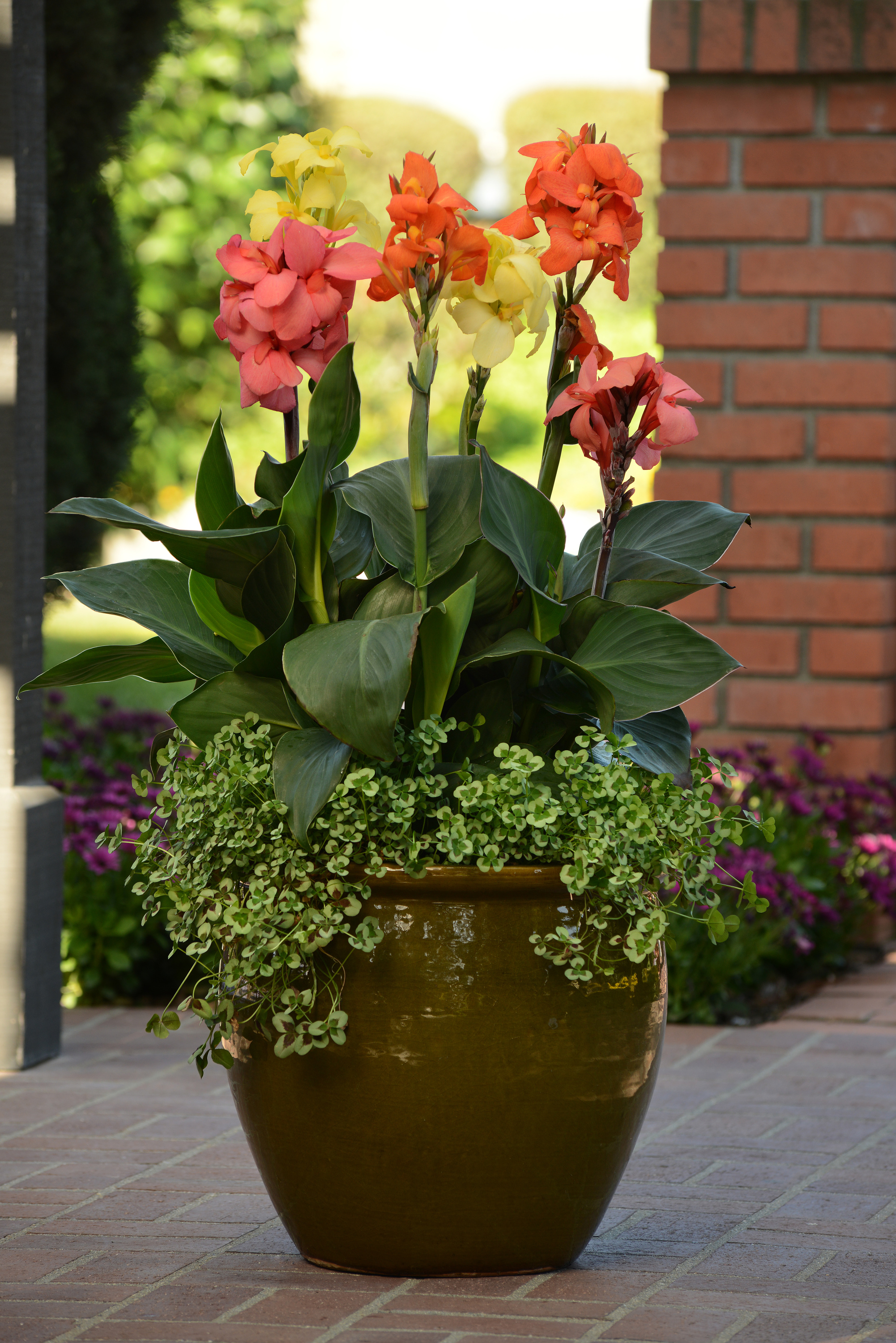 Cannas in containers.jpg
