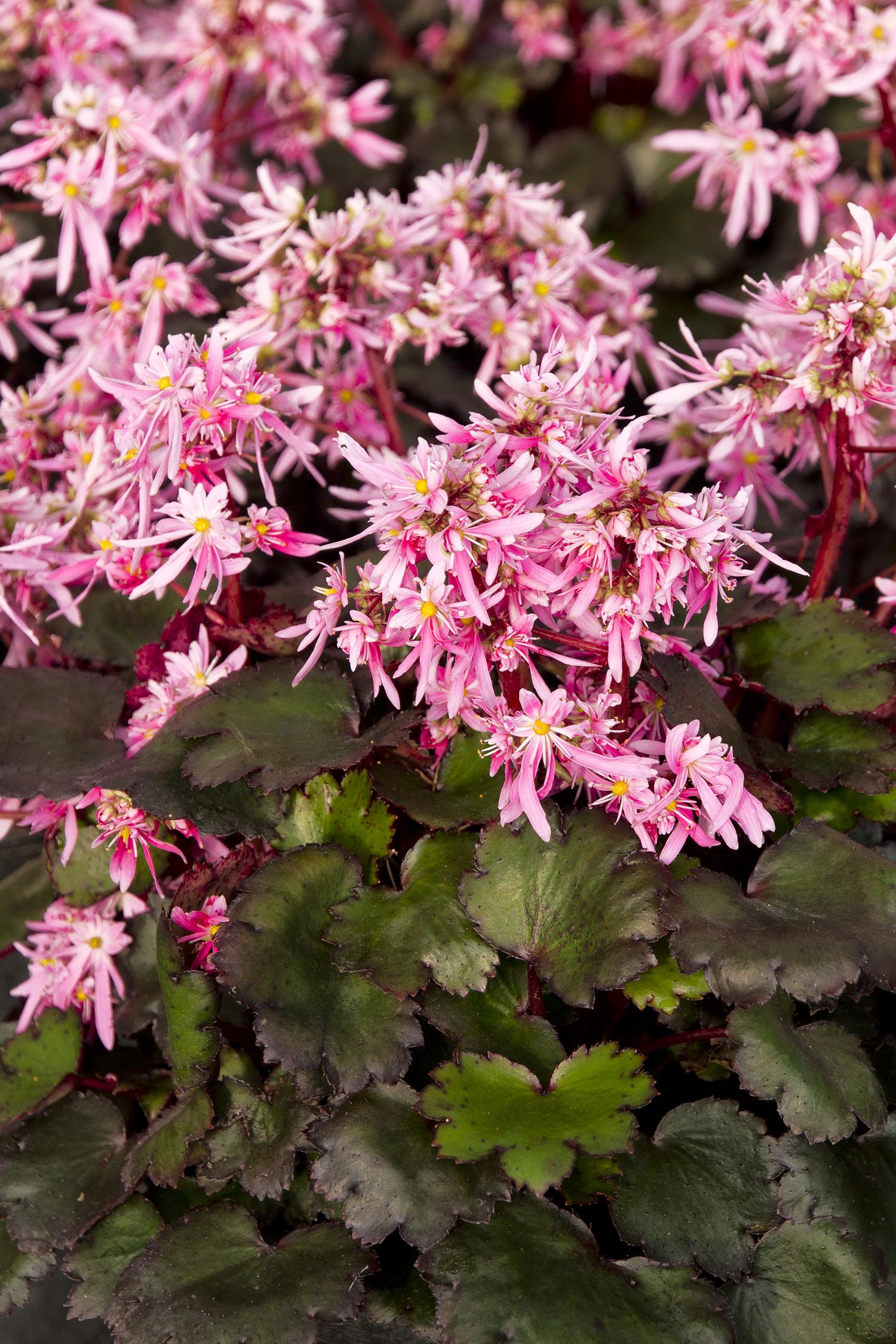 Saxifrage fortunei Pink Elf.jpg