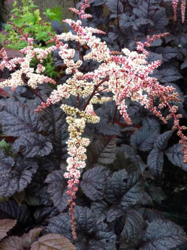 Astilbe Chocolate Shogun.jpg
