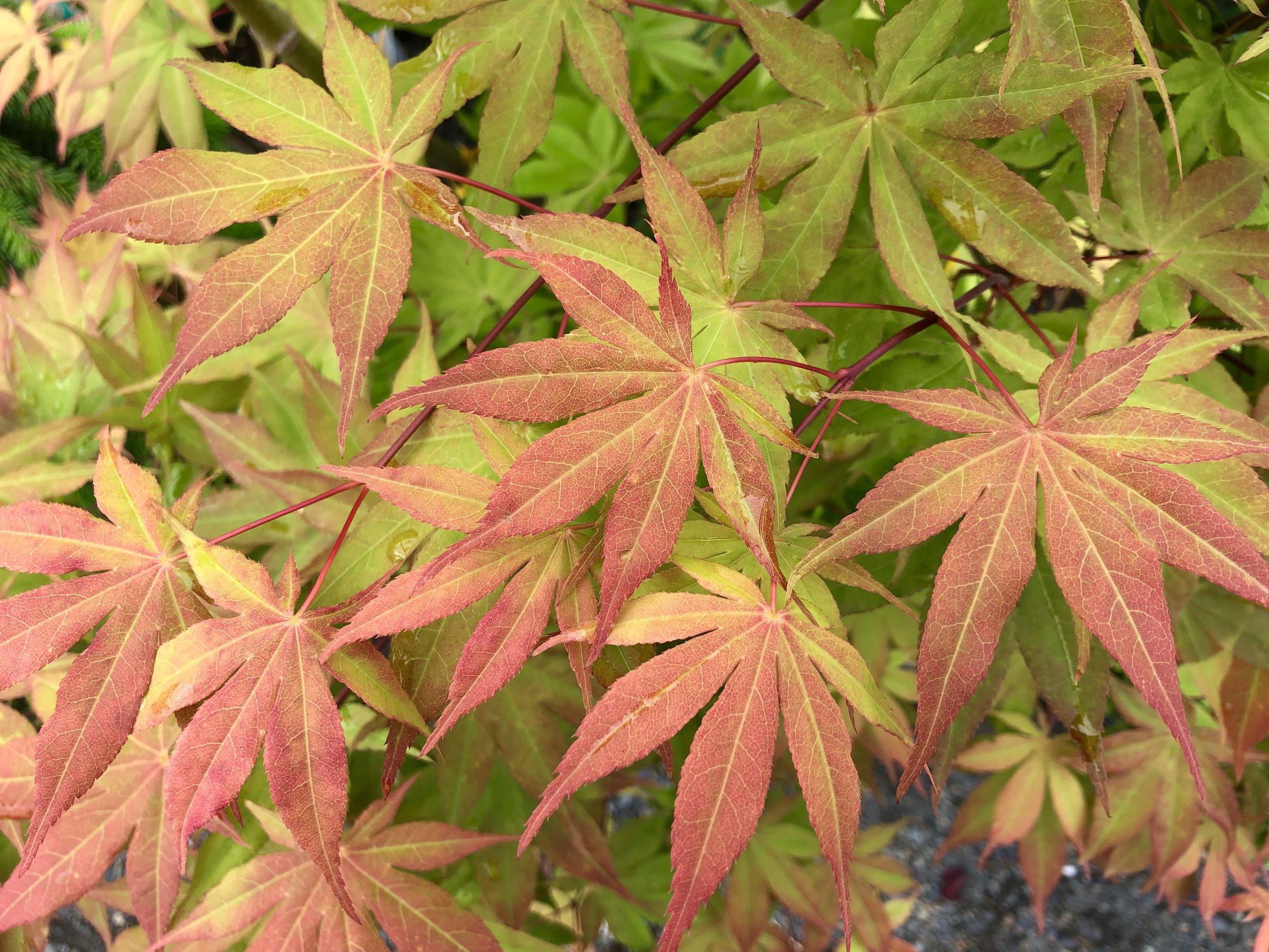 Japanese Maples Over 10 Feet Sunnyside Nursery