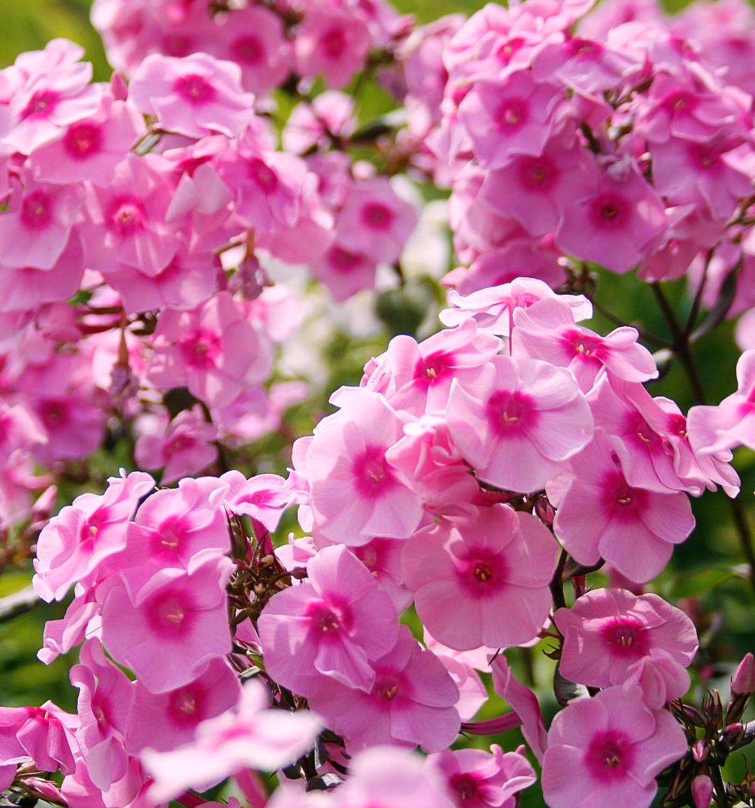 Garden Phlox.jpg