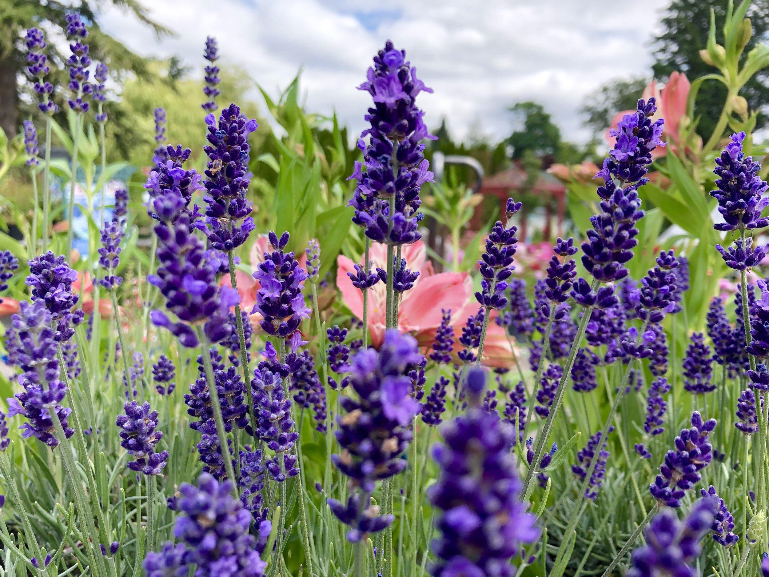 Hidcote Superior Lavender2.JPG