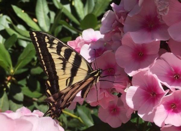 butterfly on phlox.jpg