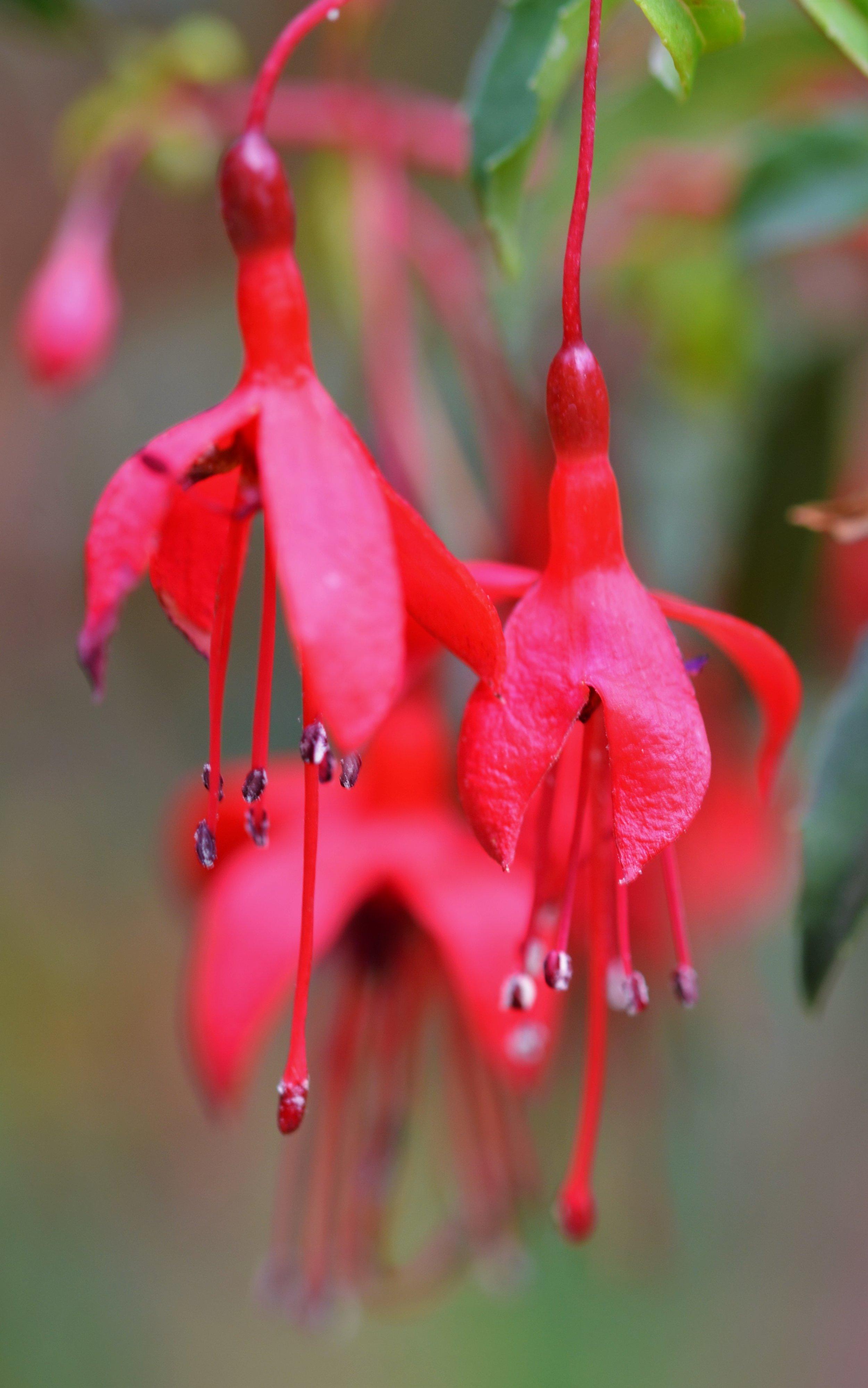 Fuchsia magellanica 'Riccartonii'.jpg